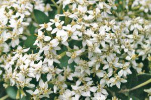 Olearia Traversii